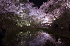 Cherry blossoms reflected on the surface of water