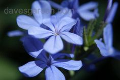Daily bloom for October 2, 2012: Plumbago (Plumbago auriculata). Photo by chamma.