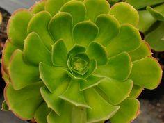 Aeonium urbicum – Saucer Plant - See more at: http://worldofsucculents.com/aeonium-urbicum-saucer-plant