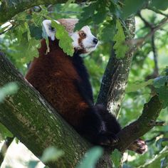 Red panda at Chester Zoo.