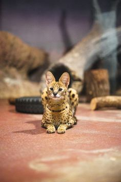 Serval Cats, Exotic Cats, Yellow Coat, Animals Of The World, Kitty Kitty, Animal Welfare, Cat Gif, Beautiful Cats, Big Cats