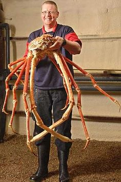 The red king crab can become very large, with a carapace measuring up to 11 inches (28cm) in width. Their leg span is very long, at 6 feet (1.8m). They naturally live in the Bering Sea, between St. Lawrence Island and the Aleutian Islands.