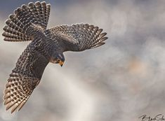 KĀREAREA 204 - Seen in this image is an adult male New Zealand falcon (Kārearea) in flight, NZ… Key Tattoos, Skull Tattoos, Sleeve Tattoos, Foot Tattoos, Flower Tattoo Foot, Flower Tattoos, Falcon Tattoo, New Zealand Tattoo, Fairy Tattoo Designs