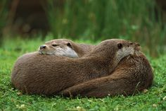 Photographic Print: European River Otter (Lutra Lutra) Sisters Resting, Europe by Ingo Arndt/Minden Pictures : Animals And Pets, Baby Animals, Otter Love, Baby Otters, Baby Sloth, River Otter, British Wildlife, Cute Funny Animals, Image Shows