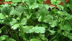 Koriandr setý (Coriandrum sativa) se u nás cítí jako doma, i když pochází ze Středomoří. Miluje slunce, propustnou výživnou půdu a rád se napije. Parsley, Herbs, Gardening, Compost, Lawn And Garden, Herb, Horticulture, Medicinal Plants