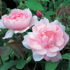 Mortimer Sackler - Climbing Roses - Type