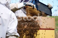 Commercial Beekeepers with Beehives royalty-free stock photo Interracial Marriage, Stock Imagery, Kiwiana, Manuka Honey, Save The Bees, Alternative Health, Bee Keeping, Royalty Free Stock Photos, Commercial