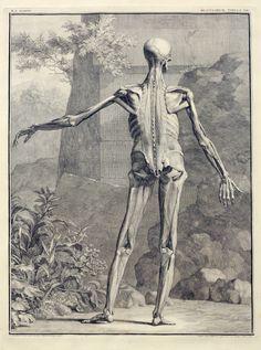 Albinus Anatomical Prints    Circulating Now