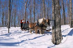 Pouring sap water from Maple trees into tank for Maple syrup production, Vermont, USA Dashing Through The Snow, Maple Tree, Pure Maple Syrup, Horse Drawn, Winter Snow, Quebec, Vermont, Animal Kingdom, Barns