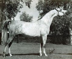 EUKALIPTUS #200635 (*Bandos x Eunice, by Comet) 1974 grey stallion bred by Janow Podlaski State Studimported to the USA from Poland 1979.