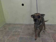 SAFE 01/26/15!  Was TO BE DESTROYED - 01/22/15 Manhattan Center   My name is MIA. My Animal ID # is A1025676. I am a female tan and black chihuahua sh mix. The shelter thinks I am about 6 YEARS old.   For more information on adopting from the NYC AC&C, or to  find a rescue to assist, please read the following: http://urgentpetsondeathrow.org/must-read/