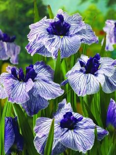 "This new strongJapanese water iris/strong has a poetic grace, with large flowers of lavender falls veined in violet and a dark-purple central clutch of ""petaloids."" Adds a lovely accent to summer water gardens when grown in a partly submerged container. Hardy in Zones 4-9. nbsp;a href=http://www.heronswood.com target=_blankheronswood.com/a"