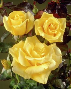Rose 'Freedom' • Rosa 'Freedom' • Plants & Flowers • 99Roots.com