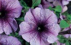 Petunia Seeds 50 Pelleted Seeds Tritunia Blue by nurseryseeds
