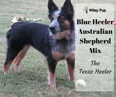 Texas Heeler is a hybrid dog that is bred by crossing a Blue Heeler (a. Australian Cattle Dog or ACD) with an Australian Shepherd (or Aussie). Discover much more about this fascinating hybrid! Australian Shepherd Blue Heeler, Australian Cattle Dog, Australian Shepherds, Blue Merle, Husky, Aussie Puppies, Cute Dog Pictures, Shepherd Puppies, Service Dogs