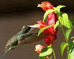 Beija-flor no camarão-vermelho (Beloperone guttata) - essa aqui também é apreciada por beija-flores e vai estar na varandinha