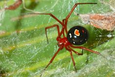 Red Widow Spider- Red Widow has toxin as dangerous as the Black Widow Red Widow Spider, Red And Black Spider, Common House Spiders, Types Of Spiders, Hobo Spider, Huntsman Spider, Wild Animals Attack, Spider Species, Insects