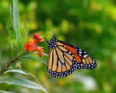 Wondering where the monarch butterflies were in summer 2013? So were lots of folks. They had a tragic drop in numbers due to a variety of factors - learn more on the Birds & Blooms Blog.
