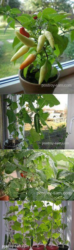 Огород на подоконнике. Выращивание овощей на подоконнике в квартире