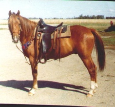 This is Cactus Dandy, he's a Morab (Morgan Arab) who started my love of the Morgan breed, he was the best of both. Tough, smart and was willing to go anywhere and do anything.