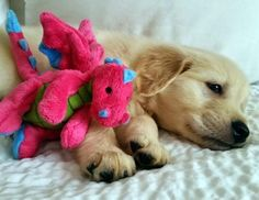 There are few things more adorable than a puppy snuggled up with his toy. - Imgur