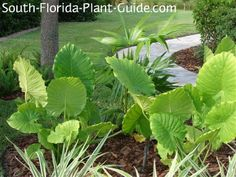 Young alocasia odora plants in a garden bed Florida Landscaping, Tropical Landscaping, Landscaping With Rocks, Outdoor Landscaping, Landscaping Plants, Tropical Garden, Plants Around Pool, Outside Plants, Spring Landscape