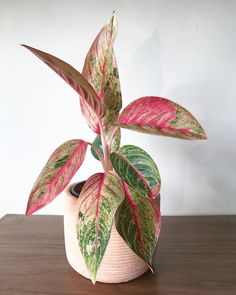 "265 Likes, 7 Comments - Apartment Botanist (@apartmentbotanist) on Instagram: ""Pretty in pink! I was so happy when I spotted this Aglaonema Legacy randomly one day in a florist…"""
