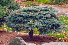 Picea engelmannii 'Hexenbesen Kahout'