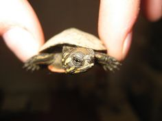 Tiny baby turtle. Adorable.