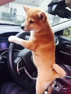 Shiba Inu driver More