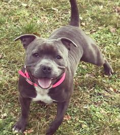 Staffordshire Bull Terrier, Bull Terriers, Dog Stuff, Best Dogs, Pitbulls, Animals, Pet Dogs, Animales, Pit Bulls