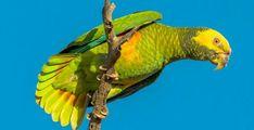 amazona xanthops - Cerca con Google
