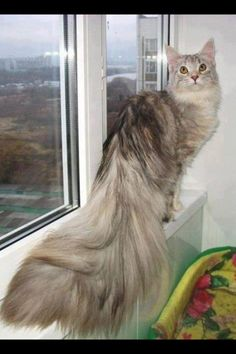 Maine Coon Cat Via Nature's Finest Captures -fb http://www.mainecoonguide.com/maine-coon-vs-norwegian-forest-cat/