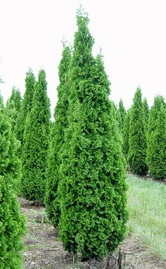 Thuja occidentalis 'Degroot Spire' Degroot Spire Eastern Arborvitae Zone 3–8. Dense, compact and narrow column of medium green; slow growth rate compared to many Thuja occidentalis cultivars, expect it to be smaller than species but ultimate size is unknown; exceptional cultivar possibly best used as a specimen or screen when space is limited.