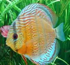 Freshwater Discus Fish | Discus ( Symphysodon sp )