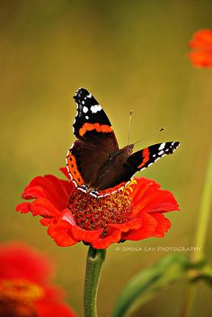 Spotted this gorgeous Red Admiral for the first time ever in 2012!
