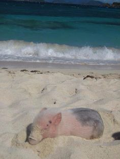 Super cute pig chilling at the beach in the summer.