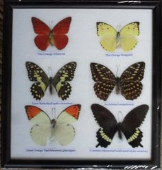 REAL 6 BEAUTIFUL BUTTERFLY Collection in Frame / BF12q. $12.00, via Etsy.