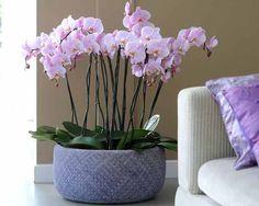 Phalaenopsis composition d'orchidée