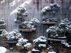 Swindon & District #Bonsai » Winter