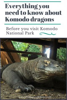 Everything you need to know about Komodo dragons on Rinca and Komodo and Flores in Indonesia #komodo #komododragon