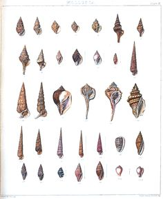 The Collected Interior: Vintage Printable Sea Shell Prints! Vintage Printable, Printable Animals, Best Sunset, Beach Themes, Beach Ideas, Cool Diy Projects, Art Forms, Vintage Posters, Sea Shells
