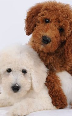 Belle and Bonnie, Goldendoodle puppies ~ They need to be on an oil painting !!