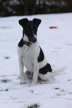 smooth fox terrier  Looks like Daisy....great companion!  I miss her!
