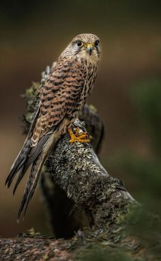 Kestrel ~ Bl***y Photographers. by Paul Keates* Kinds Of Birds, All Birds, Birds Of Prey, Love Birds, Pretty Birds, Beautiful Birds, Animals Beautiful, Vida Animal, Tier Fotos
