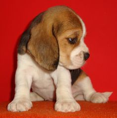 adorable beagle puppy.