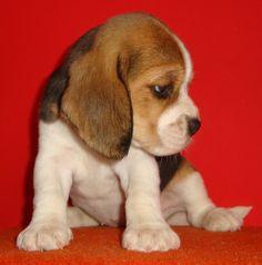 adorable beagle puppy.