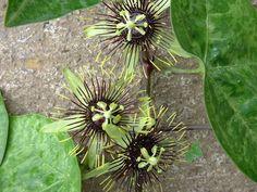 "Passiflora 'Manta' 4"" pot"