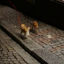 long haired chihuahuas walking in Stockholm