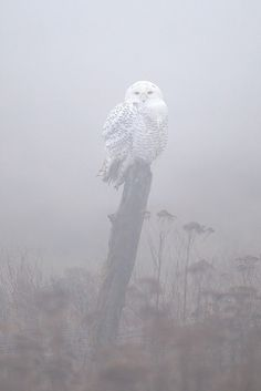 jaws-and-claws:  Snowy Owl in Mist by www.studebakerstudio.com on Flickr.